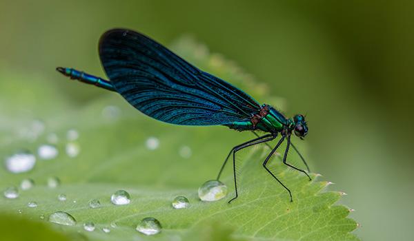 Entomologo
